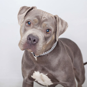 Roxy-pitbull-autism-story-credit-Best-Friends-Animal-Society